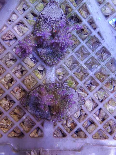 Stok ikan ,coral & garam sintetis LENTENG AQUAMARINE Image-15