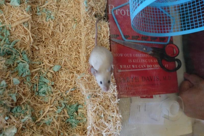 I am certain that one of my mice are pregnant ETA PICS Mattiu10