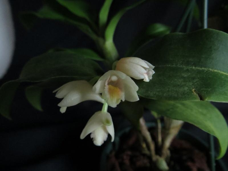 Dendrobium compressum  Dendro11