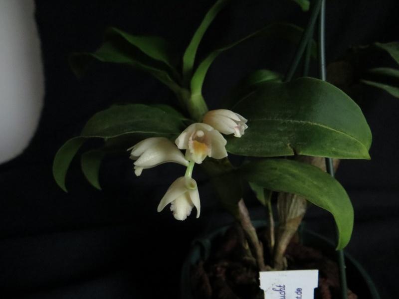 Dendrobium compressum  Dendro12
