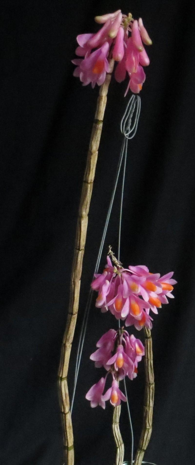 Dendrobium pseudo glomeratum Img_3310