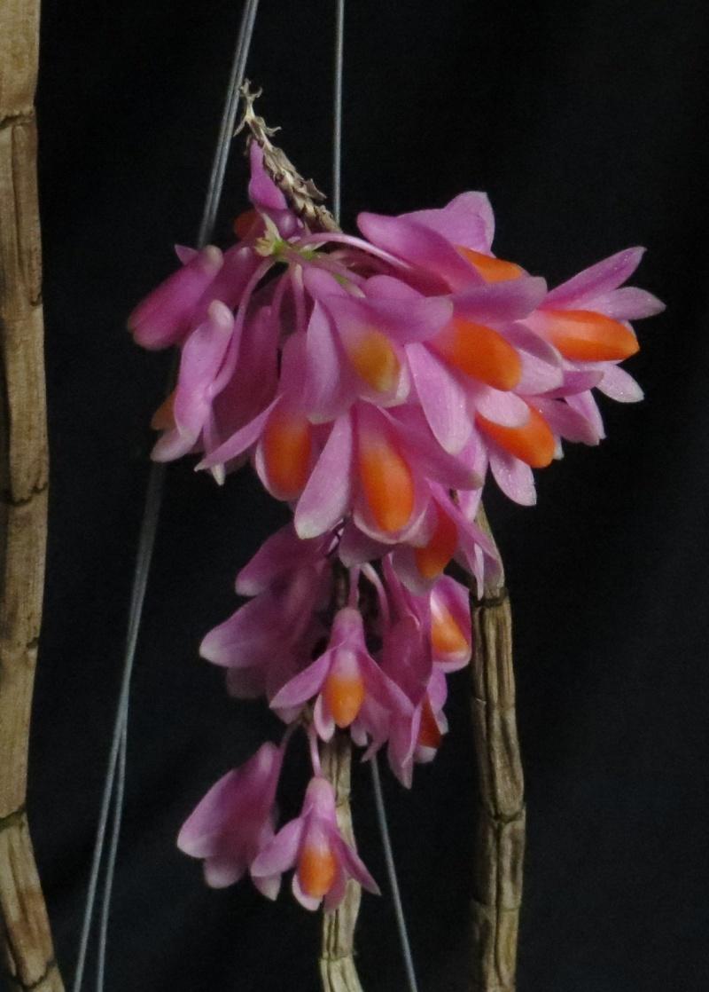 Dendrobium pseudo glomeratum Img_3311