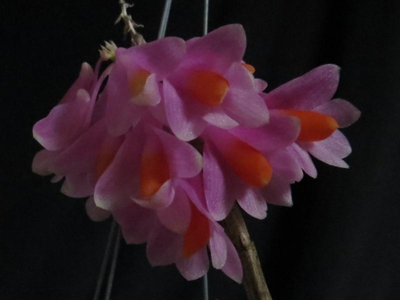 Dendrobium pseudo glomeratum Img_3312