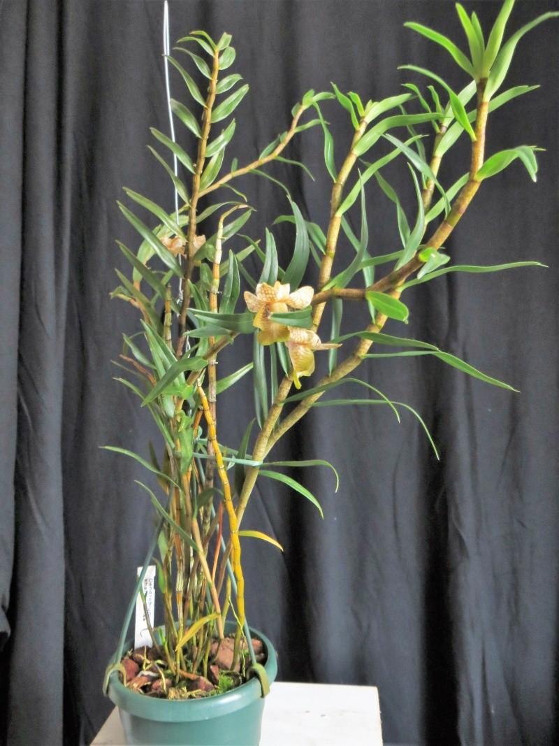 Dendrobium khanhoaense Img_4024