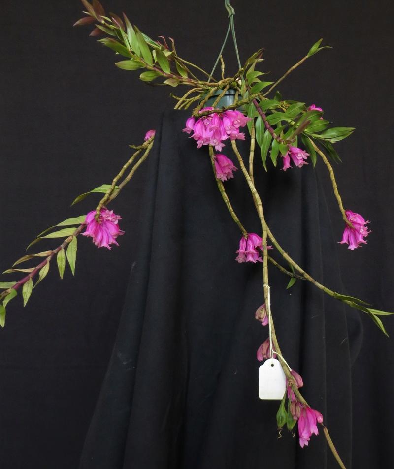Dendrobium lawesii - Seite 2 Img_4117