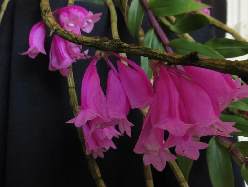 Dendrobium lawesii - Seite 2 Img_4118