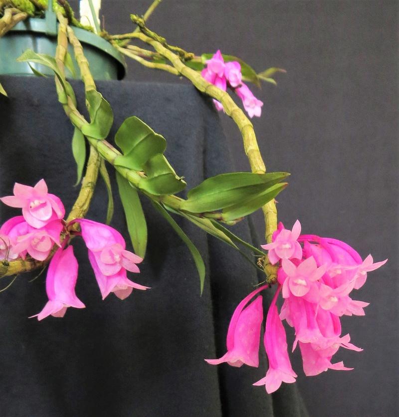Dendrobium lawesii - Seite 2 Img_4119