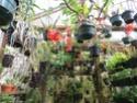 Dendrobium lawesii Img_4017