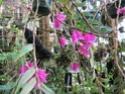 Dendrobium lawesii Img_4018