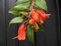Dendrobium lawesii Lawesi10