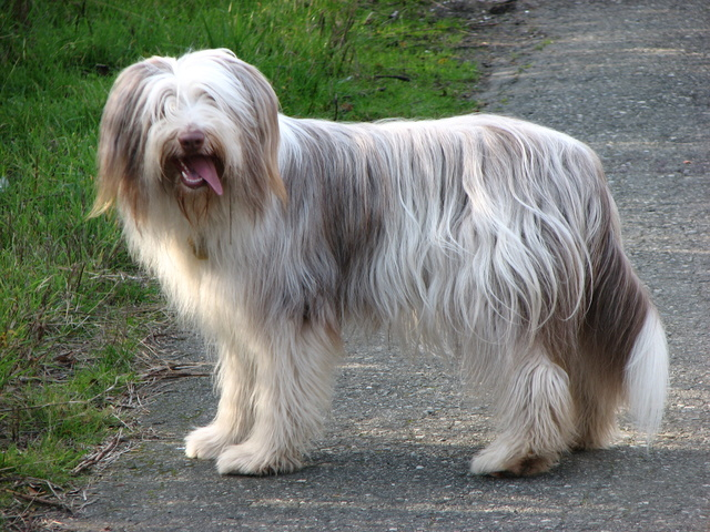 Le Bearded Collie Bearde13