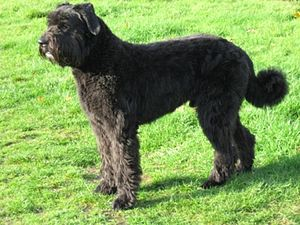 Le Bouvier des Flandres  Bouvie11