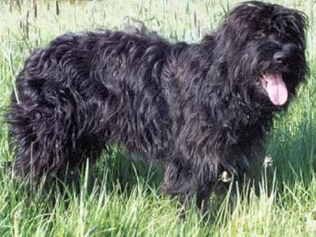 Cão da Serra de Aires Cao_de10