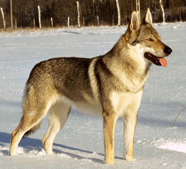 chien loup tchécoslovaque Chien_10