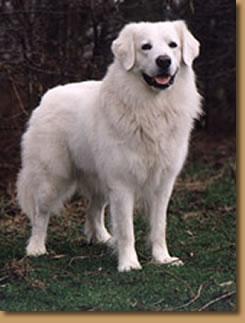 Le Kuvasz est un chien de grande taille , c'est le moins qu'on puisse dire.. Le_kuw10