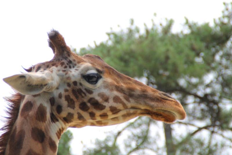 Belle nature et êtres vivants Giraff10