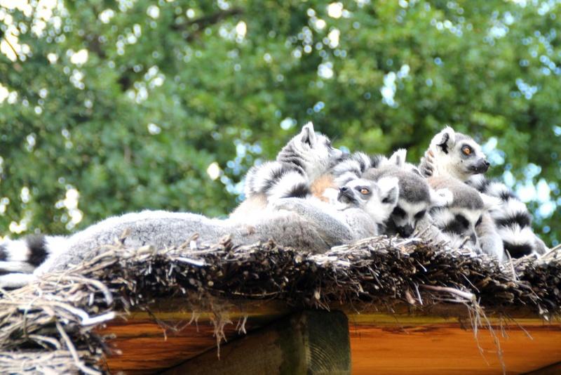 Belle nature et êtres vivants Lemuri10