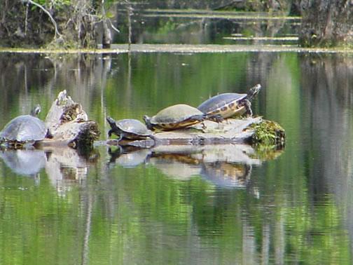 Močvare... Turtle10