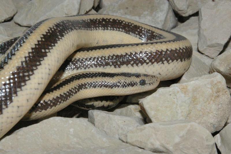 Lachanura trivigarta trivirgata Image95