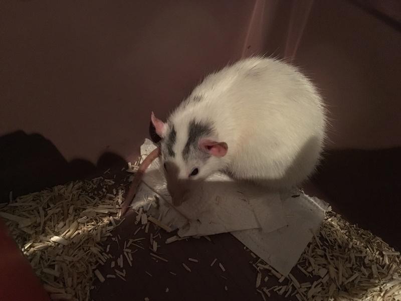 Ratte husky dumbo a placer! 64 URGENT Image110