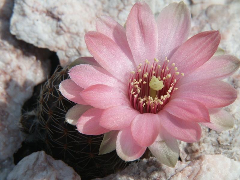 Mediolobivia canacruzensis 04010_10