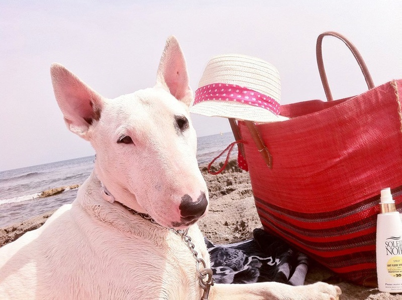 IRC++++ BULL TERRIER 6 ANS - AZODYL Ice_pa12