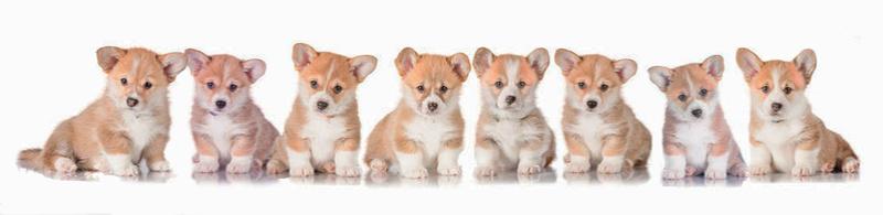 Щенки Вельш Корги Пемброк * Welsh Corgi Pembroke Puppys
