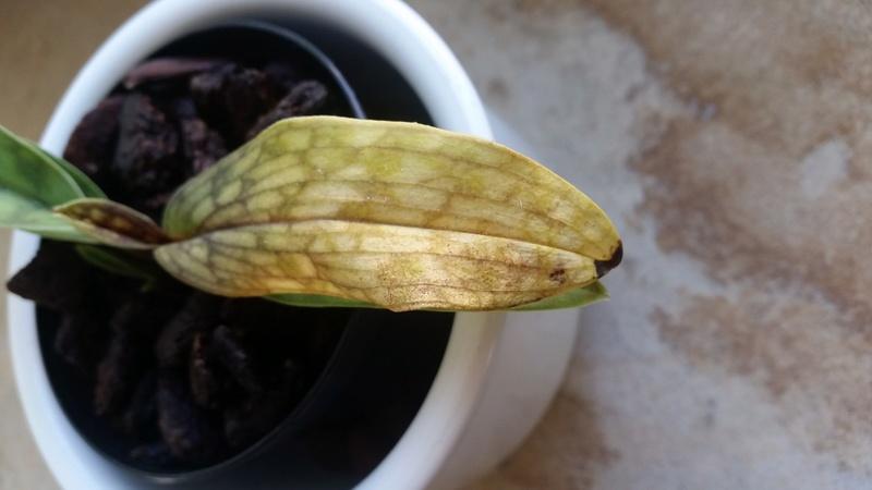 Paph. Maudiae Vinicolor - Blatt färbt sich gelb 20160710