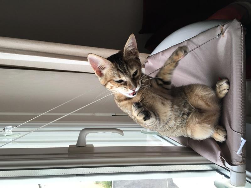 margotte - MARGOTTE, chatonne tigrée et rousse, née le 05.04.16 Image16