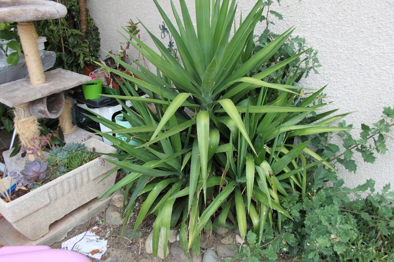 mon yucca a pris un coup de soleil Img_0521