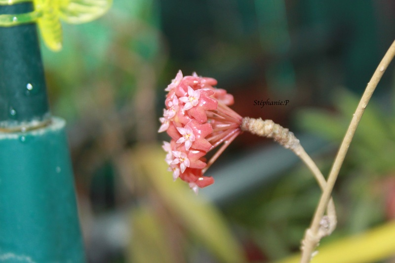 Hoya ilagiorum Img_0525