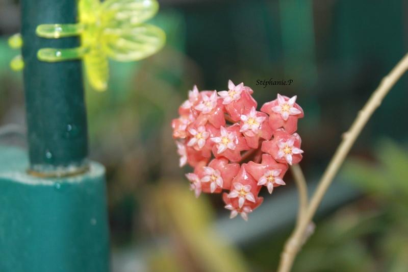 Hoya ilagiorum Img_0526