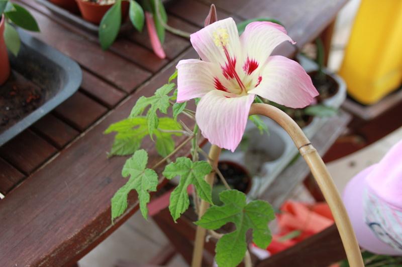 Hibiscus cameronii Img_0624