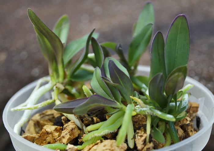 Cattleya schilleriana... - Seite 2 Schill11