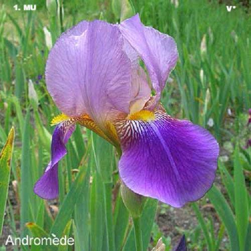 Iris 'Phèdre' - Ferdinand Cayeux 1929 39d99d10