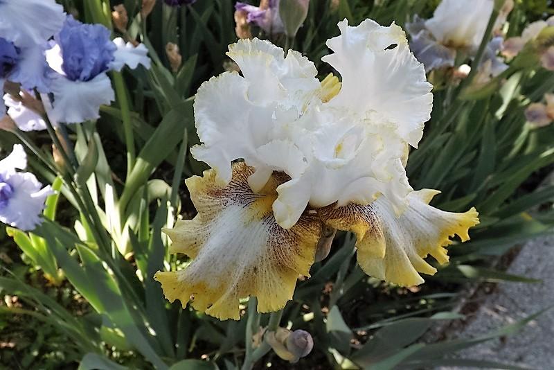 Iris 'Cadran Lunaire' - J-C Jacob 2012 Dscf0910