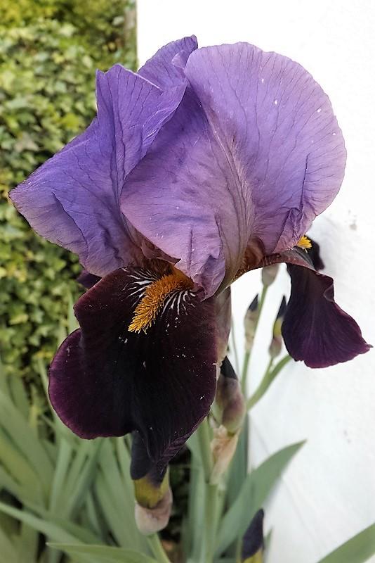 Iris 'Cameroun' - Cayeux 1938 Dscf0912