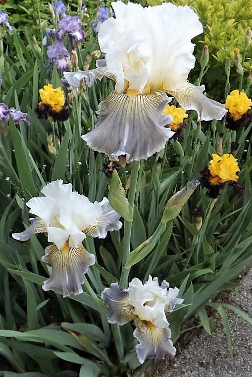 Iris 'Ciel Gris sur Poilly' - Cayeux 2011 Dscf1114