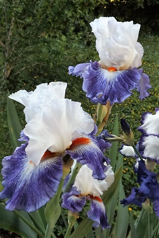 Iris 'Gypsy Lord' - Keppel 2005 Dscf1311