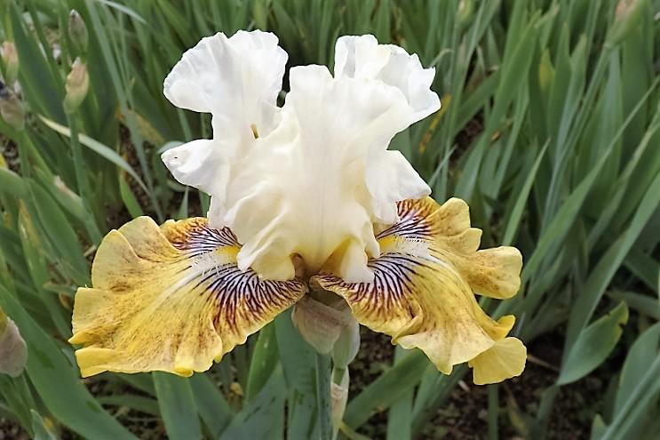 Iris 'Fancy a Flutter' - Blyth 2006 Dscf1612