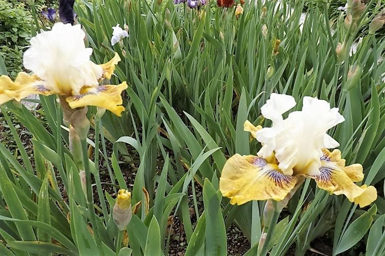 Iris 'Fancy a Flutter' - Blyth 2006 Dscf1613
