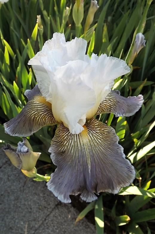Iris 'Ciel Gris sur Poilly' - Cayeux 2011 Dscf1624