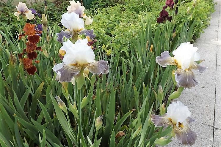 Iris 'Ciel Gris sur Poilly' - Cayeux 2011 Dscf1625
