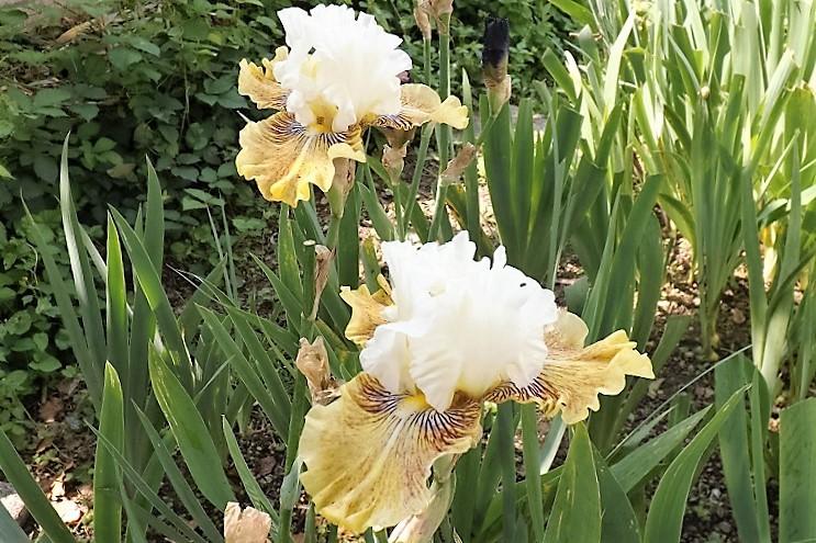 Iris 'Fancy a Flutter' - Blyth 2006 Dscf1710