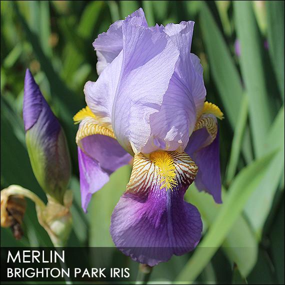 Iris 'Phèdre' - Ferdinand Cayeux 1929 Merlin10
