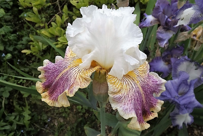 Iris 'Cadran Lunaire' - J-C Jacob 2012 Sordid10