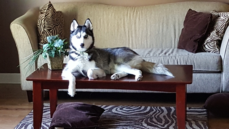 Living with 2 female Huskies 20160610