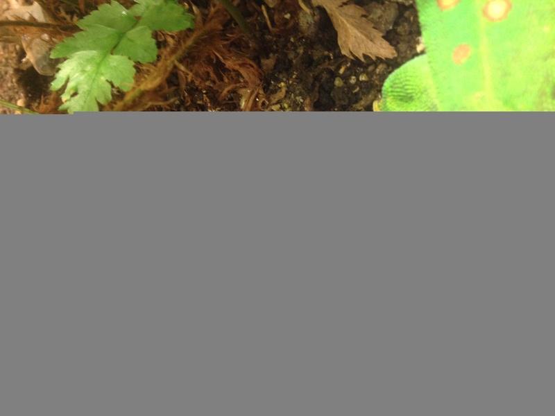 Phelsuma madagascariensis en petite forme... Img_8411