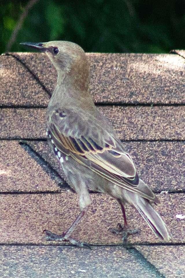 Un oiseau probablement facile a identifier pour vous les experts Inconn12