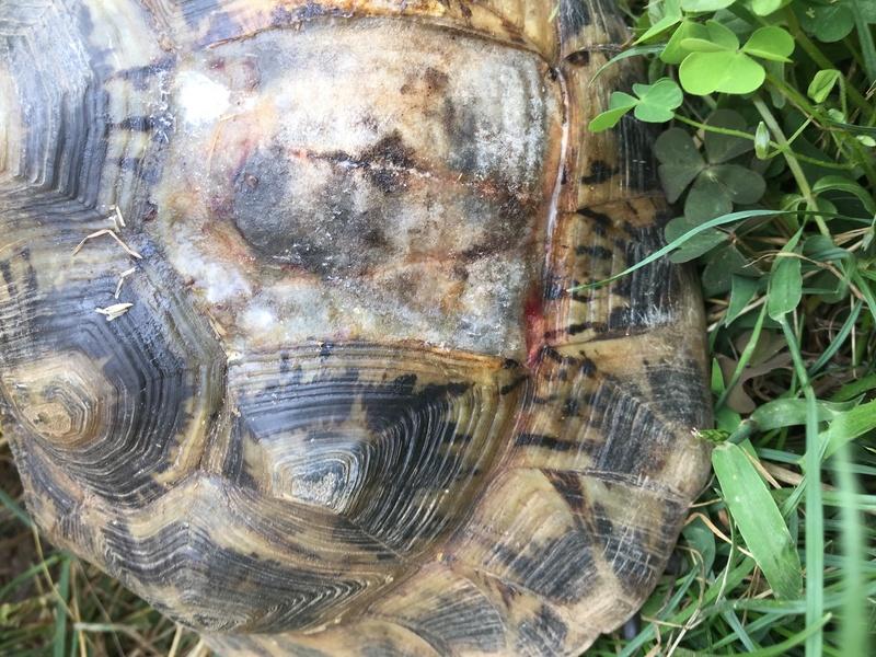 Perte d'une écaille sur mes deux tortues, urgent Img_1410